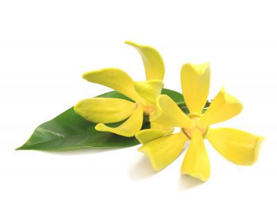 Ylang-Ylang Complète.