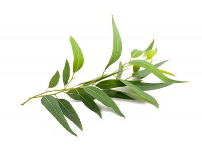 Eucalyptus Officinale Radié