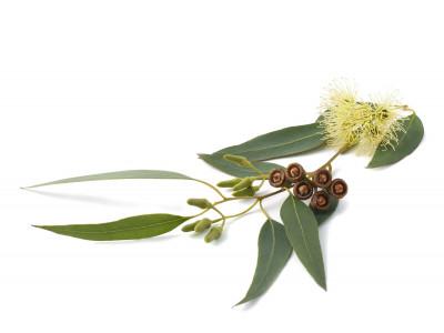 Eucalyptus Smithii