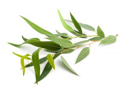 Eucalyptus Mentholé.